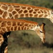 giraff interaktion — Stockfoto