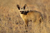 Bat-eared fox — Stock Photo