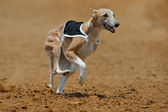 Sprinting whippet dog — Stock Photo