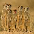 Meerkat family 02 — Stock Photo
