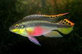 Kribensis (Purple Cichlid) — Stock Photo