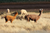 Alpacas (Vicugna pacos) — Stock Photo