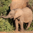 Young African elephant — Stock Photo #3781183