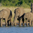 African elephants — Stock Photo #3781198