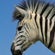 Plains Zebra portrait - Stock Photo