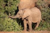 Jeune éléphant d'afrique — Photo