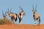 Gemsbok antelopes — Stock Photo
