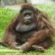 Orangutan sitting on grass - Stock Photo