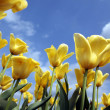 Close up of a Field with Yellow Tulips — Stock Photo