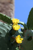 Cactus Flowers — Stock Photo