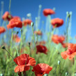 Summer field of red flowers - Stock Photo