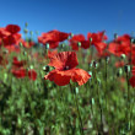 Red Flowers. Summer Poppy field — Stock Photo