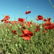 Red Flowers. Summer Poppy field — Stock Photo