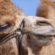 Camel close-up — Stock Photo #2886321