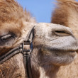 Stock Photo: Camel close-up