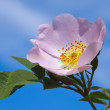 Flower of a dogrose — Stock Photo