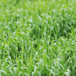 Green grass — Stock Photo #3194556