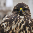 eagle bird closeup — Stock Photo