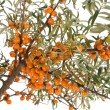 Branch of ripe sea buckthorn — Stock Photo