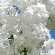 Branch of white lilac — Stock Photo