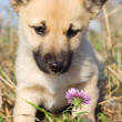 Puppy smelling pink flower — Stock Photo