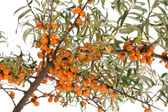 Branch of ripe sea buckthorn — Stock Photo