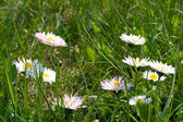 Spring daisies in a green grass — Stock Photo