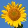 Ripe sunflower — Stock Photo