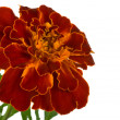 Close-up spreading marigold — Stock Photo