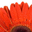 Part of red gerbera flower — Stock Photo #2922396