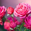 Pink roses on green grass background - Stock Photo