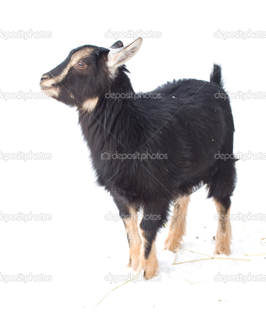 Black kid goat on snow — Stock Photo #3148008