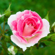 Foto Stock: Pink-white roses on green grass background