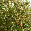 Stock Photo: Apple-tree