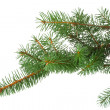 Branch of fir-tree isolated — Stock Photo