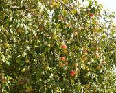 Apple-tree — Stock Photo