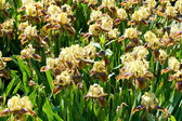Yellow-brown-purple irises — Stock Photo