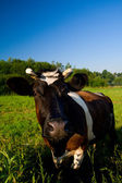 Cow at pasture — Stock Photo