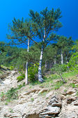 Two pine-trees on mountainside — Foto de Stock