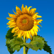 Big sunflower — Stock Photo