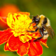 Bumblebee on red flower - Stockfoto