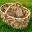 Bunnies in basket - Stock Photo