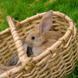 Bunnies in basket - Stockfoto