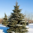 Winter fir tree — Stockfoto