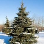 Winter fir tree — Stock Photo