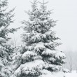 Fir tree covered with snow — Stockfoto
