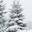 Fir tree covered with snow — 图库照片