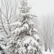 Fir tree covered with snow — Stock fotografie