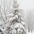 ストック写真: Fir tree covered with snow