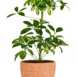 Schefflera in pot - Stock Photo
